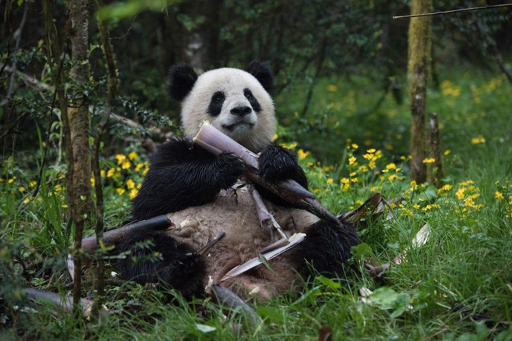 Giant Panda from IMAX PANDAS