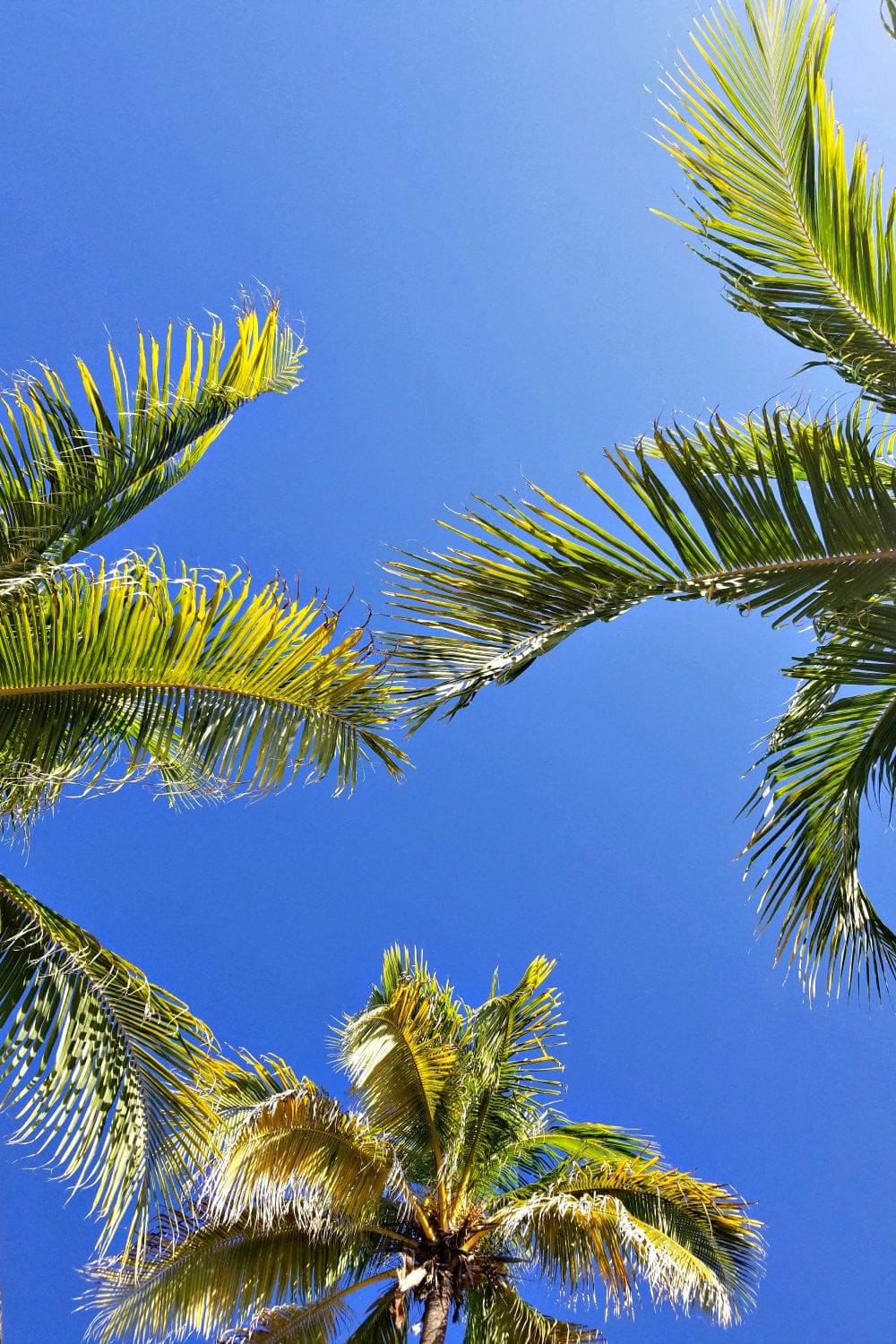 Looking up at beautiful Palm Trees