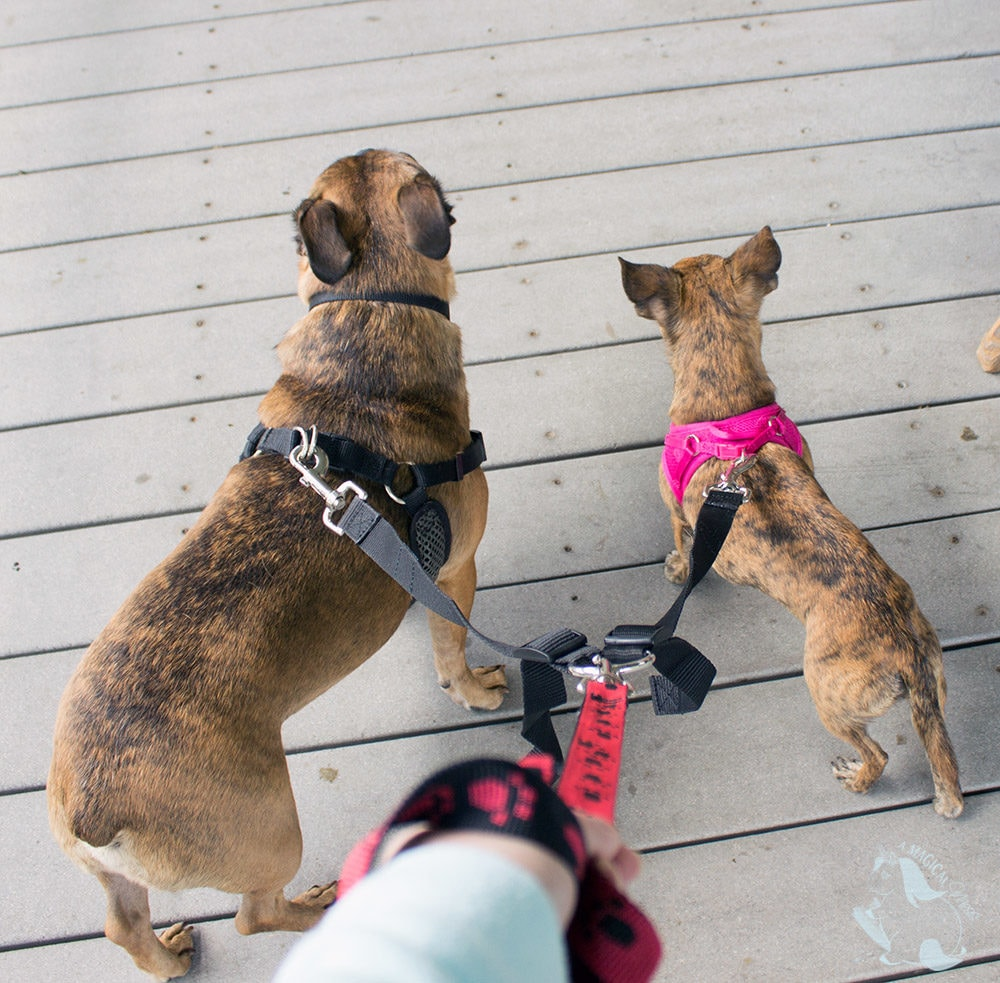 Double leash is a game changer for walking two dogs