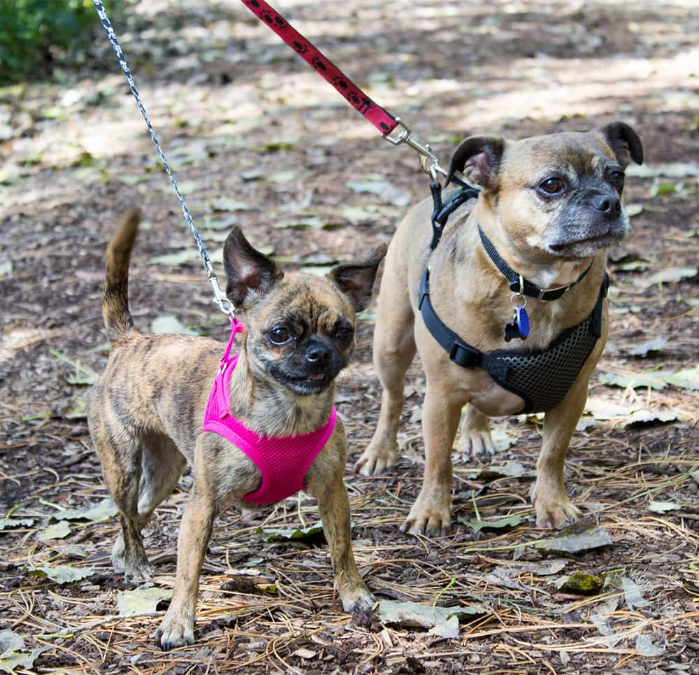 Two pug mix breeds enjoying a walk on a nature path