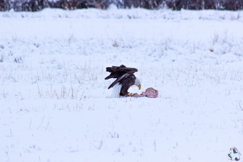 Bald Eagle eating deer carcass in Montana