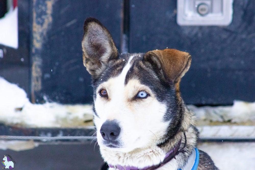 Alaskan Husky with one brown eye one blue