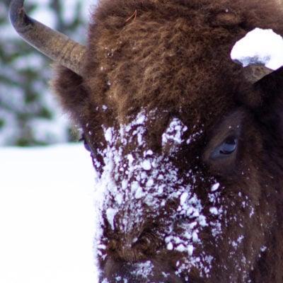Winter Yellowstone Vacation