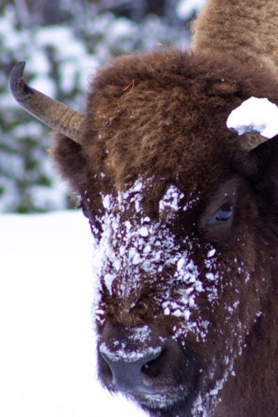 Snowy faced American Bison in Yellowstone National Park