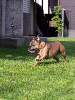 Happy dog running in the yard