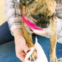Chihuahua getting paw wiped with toilet paper
