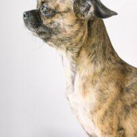Chihuahua pug mix dog
