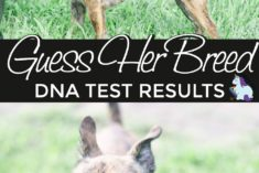 What breed is this dog? We find out with this dog DNA test.