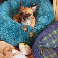 Tiny dog in pet bed