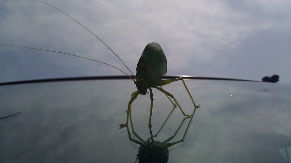 katydid on my car windshield