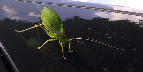 katydid on the windshield