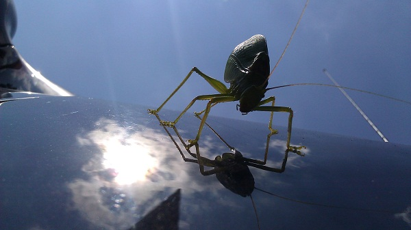 katydid on a car